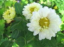 220px-chrysanthemum