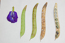 220px-clitoria_ternatea_beans